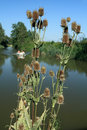Teasel flowers on the banks of the river dipsacus sativus with a cruise boat in background Stock Photography
