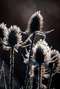 Teasel with frost at sunrise Royalty Free Stock Photo
