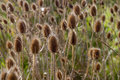 Teasel heads closeup of a group of in a field Stock Images