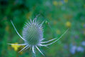 Teasel plant a picture of a green orb spider spinning its web across a flower Stock Photography