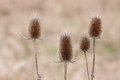 Teasel troop the soft glow of morning 's sunlight cannot diminish the menacing presence of four egg shaped flower heads their Stock Photo