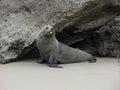 Teasing seal. Royalty Free Stock Image