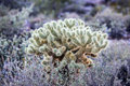 Teddy bear cholla cactus in arizona Royalty Free Stock Photos