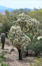The teddy bear or cholla cactus of the sonoran desert has a deceptively cuddly appearance it is however covered with prickly Stock Photography