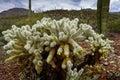 Teddybear cholla cactus at saguaro national park az Stock Photo