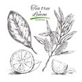 Tee tree and lemon. Vector hand drawn collection.Natural herbs and flowers. Beauty and Ayurveda. Organic cosmetics