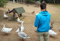 Teenage boy and geese at the zoo looking Stock Image