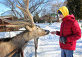 Teenager feeding deer in the zoo winter Stock Photo