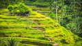 Tegalalang Rice Terrace Fields and some Palm Trees Around, Ubud, Bali, Indonesia Royalty Free Stock Photo