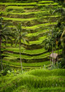 Tegallalang bali rice terraces some of the more spectacular can be seen in the village of lush verdant green scenery and panoramic Royalty Free Stock Photography