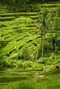 Tegallalang bali rice terraces some of the more spectacular can be seen in the village of lush verdant green scenery and panoramic Stock Photo