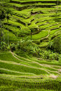 Tegallalang bali rice terraces some of the most dramatic and beautiful fields can be found at the village of not far from ubud the Royalty Free Stock Photos