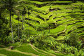 Tegallalang ubud bali the most dramatic and spectacular rice terraces in can be seen near the village of Stock Photo