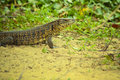 Tegu lizard standing on the ground Stock Photography