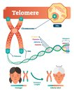 Telomere vector illustration. Educational and medical scheme with cell, chromosome and DNA. Labeled anatomical diagram.