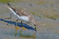 Temminck s stint calidris temminckii a making a good feast of creatures underneath the water cover in the mud plains of river Stock Photography