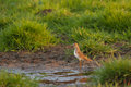 Temminck stint s on a muddy meadow Stock Photography