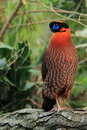 Temminck tragopan Stock Images