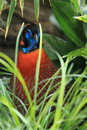 Temminck tragopan Photo libre de droits