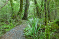 Temperate rain forest fiordland national park south island new zealand track lake gunn nature walk focus on foreground Royalty Free Stock Images