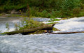 Tempestuous mountain river washes a fallen tree trunk Royalty Free Stock Photography