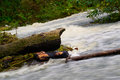 Tempestuous mountain river washes a fallen tree trunk Stock Image