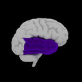 Temporal lobe human brain in side view Royalty Free Stock Photo