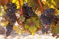 Tempranillo Grapes, Rioja Region, Spain Royalty Free Stock Photo