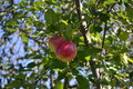 Tempting red apples hanging low on the tree make a treat Stock Photos