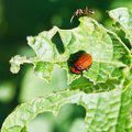 Ten-lined potato beetle larva eating potatoes Royalty Free Stock Photo