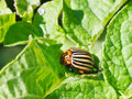 Ten-lined potato beetle in potatoes leaves Royalty Free Stock Photo