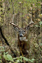 Ten Point Buck Royalty Free Stock Photo