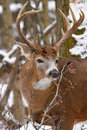 Ten point whitetail deer buck during fall rut in snow a trophy browses on twigs the ontario canada Royalty Free Stock Photography