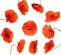 Ten poppy flowers isolated on white Royalty Free Stock Photos