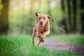 Ten week old puppy of vizsla dog running in the forrest