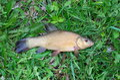 Tench fish Royalty Free Stock Photo