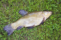 Tench on grass after fishing Stock Photography