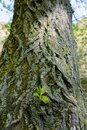 Old tree sprout Royalty Free Stock Photo