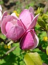 Tender buds of budding rose petals on a bright sunny day Royalty Free Stock Photo