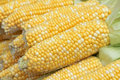 Tender corn cobs Royalty Free Stock Photos