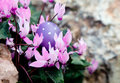 Tender Easter - egg hunt in cyclamen bush Royalty Free Stock Photo