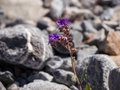 Tender flower among the stones violet of desert death valley california Royalty Free Stock Photography