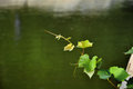Tender grapevine a shine in the sunshine with water background Royalty Free Stock Photo