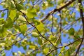 Tender green of a plane tree in spring Stock Image