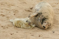 A tender moment with a Grey Seal Halichoerus grypus mum and her newly born pup lying on the beach. Royalty Free Stock Photo