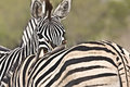 a tender moment for two zebras in the bush , Kruger National park, South Africa Royalty Free Stock Photo
