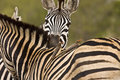 A tender moment for two zebras in the bush kruger national park south africa Royalty Free Stock Photo