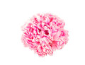 Tender pink peony flower isolated white background Royalty Free Stock Photo