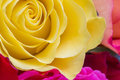 Tender roses in magnificent colors Stock Image