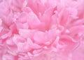 Tender wet pink peony flower macro Royalty Free Stock Photo